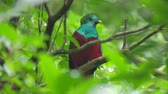 ramo : Male of Resplendent quetzal (Pharomachrus mocinno) in the humid forest of Monteverde National Park. Costa Rica Vídeos