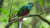 species : Male of Resplendent quetzal (Pharomachrus mocinno) sits on the branch in the humid forest of Monteverde National Park and clean its beak. Costa Rica Stock Footage