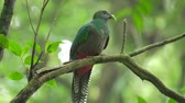 species : Male of Resplendent quetzal (Pharomachrus mocinno) sits on the branch in the humid forest of Monteverde National Park. Costa Rica