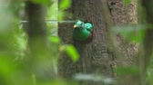 queue : Male of Resplendent quetzal (Pharomachrus mocinno) va du nid