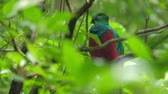 species : Male of Resplendent quetzal (Pharomachrus mocinno) in the humid forest of Monteverde National Park. Costa Rica Stock Footage