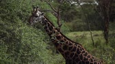 Giraffe (Giraffa) eats leaves from the tree