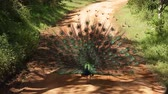 Indian peacock (peafowl) turns and shows the tail