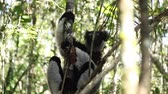 black hair : Indri lemur or Babakoto (Indri indri) sits on the tree and after jumps away