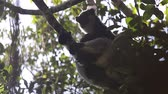 animais selvagens : Indri lemur or Babakoto (Indri indri) sits on the tree and after jumps away
