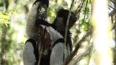 Африка : Indri lemur or Babakoto (Indri indri) sits on the tree in the forest. With sound Стоковые видеозаписи