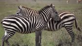 Two zebras stand in savanna Stok Video
