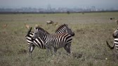 Zebras stand in savanna. Nairobi Stok Video