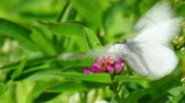 copulate : white butterflies copulate on flower - aporia crataegi Stock Footage