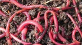 squirm : many red worms in dirt - bait for fishing
