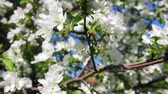 crab apple : Blossom apple tree branches close-up