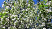 crab apple : Blossom apple tree branches