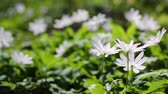 kar taneciği : white flowers anemones in spring wood