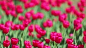 bordo : field of red tulips blooming - rack focus