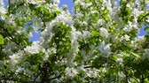 pretty : blossom apple tree branches and bees