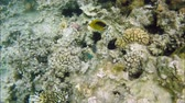 ouriço : Corals, fish and sea urchins in the Red Sea - Egypt