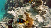 анемон : Clownfish shelters and anemone on a tropical coral reef in Red Sea