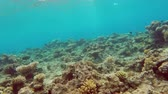 dahab : Fish swim among corals in the Red Sea - Egypt Stock Footage