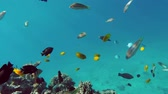 dahab : Many fish swim among corals in the Red Sea - Egypt