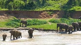 tourism : Elephants in the river - Sri Lanka 4k Stock Footage