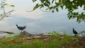 avian : White-breasted Waterhen bird and her nestling (Amaurornis phoenicurus) is walking Stock Footage