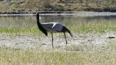 elegance : demoiselle crane bird walking in grass Stock Footage