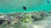plectorhinchus : Flock of Blackspotted rubberlip (Plectorhinchus gaterinus) fish on coral reef in Red Sea, 4k