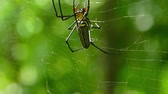 веточка : Large nephila spider with her cub removes a sprig from the web Стоковые видеозаписи
