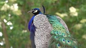 tailândia : peacocks sitting on branch in forest, 4k Stock Footage