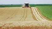 corn : Combine harvester cuts ripe wheat in the field, 4k
