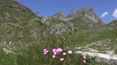 goździk : Landscape with a wild carnation between the mountains in the park Durmitor, Montenegro, 4k
