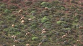 rocky mountains : Herd of sheep grazing on mountain slopes in Morocco, Africa, 4k