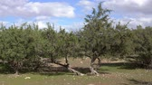 Африка : Argan trees (Sapotaceae, Argania spinosa) in their natural habitat - in Morocco, 4k Стоковые видеозаписи