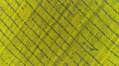 겨자 : Aerial top view on beautiful flowering rapeseed field, 4k