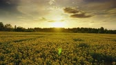 겨자 : Landscape with beautiful flowering rapeseed field at sunset, timelpase 4k