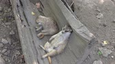 敷設 : Two meerkats lie in a tree trunk, 4k 動画素材