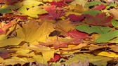 colorful backgrounds : background with autumn colorful leaves, 4k Stock Footage