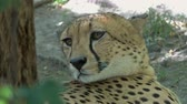 пантеры : Lying jaguar closeup portrait Стоковые видеозаписи