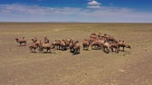 Африка : Aerial view of Bactrian camels group in Mongolia