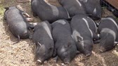 kismalac : Sleeping black little fun piglets