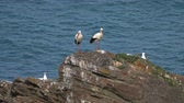 gólya : Storks on rocks and sea waves on coastline
