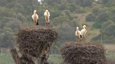 heron : White storks in the nest, Portugal Stock Footage