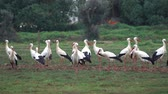 algarve : A flock of white storks resting in fields