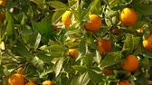 mandarim : Bright ripe oranges fruits hanging on tree