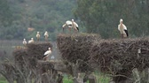 algarve : White storks in the nest, Portugal Stock Footage