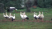 algarve : flock of white storks resting in fields Stock Footage