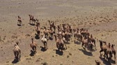mongolia : Aerial view of Bactrian camels group in steppe