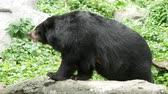 азиатский : big black bear sniffing the air and shaking head