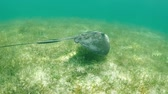 eagle : Stingray swimming in the tropical water of the caribbean, HD video slowmotion