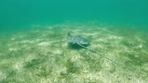deniz yaşamı : Stingray swimming in the tropical water of the caribbean, HD video slowmotion